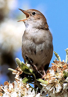 041nightingaleDM_228x325
