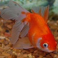 1Goldfish